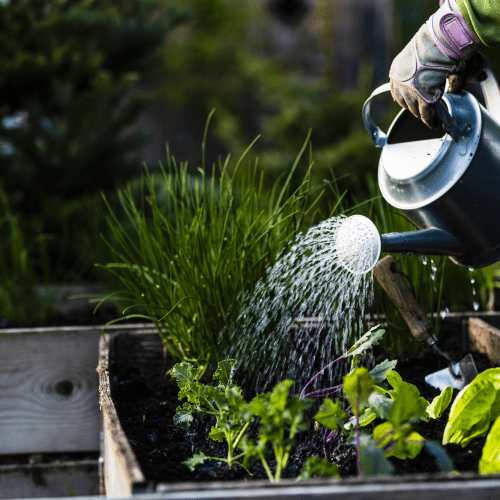 vegetable planting guide: Hands watering vegetables in a garden