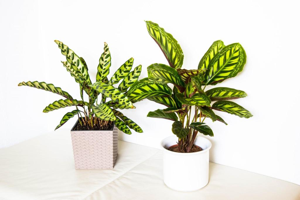 plants safe for cats: Calathea plants in flower pots