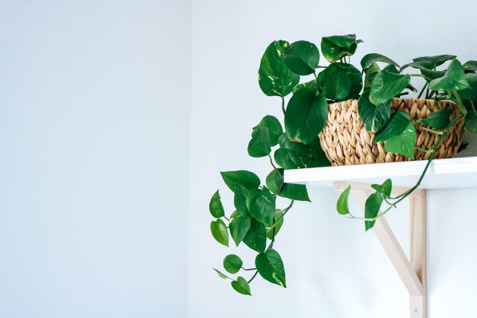 pothos plant care: pothos plant on a shelf