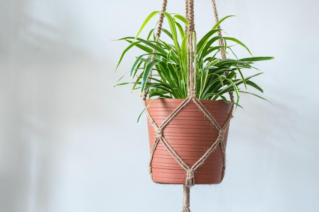 Spider plant in a plant hanger