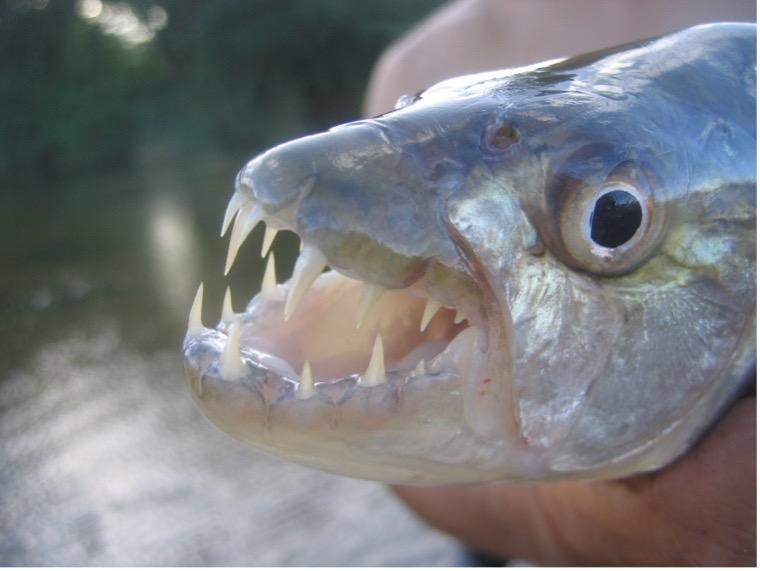 tigerfish head with teeth