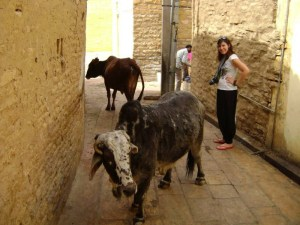 Two cows in an alley way with a woman in India