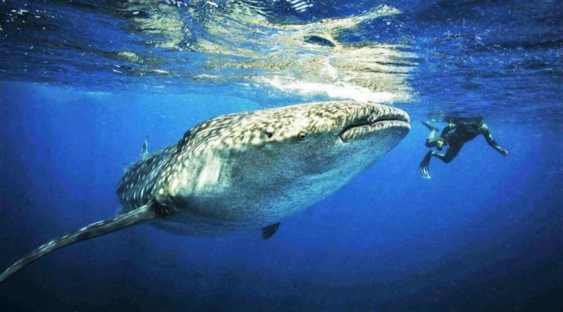 Cancun: Land of Sun, Sea, and… Whale Shark Diving!