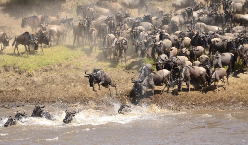 Wildebeest's crossing the river during the Serengeti Migration