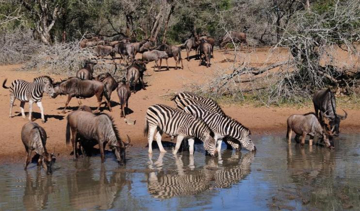 Zebra and Wildebeest quenching their thirst at the watering hole- The Serengeti Migration