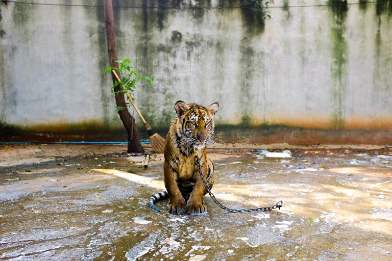 A baby tiger chained to the wet floor