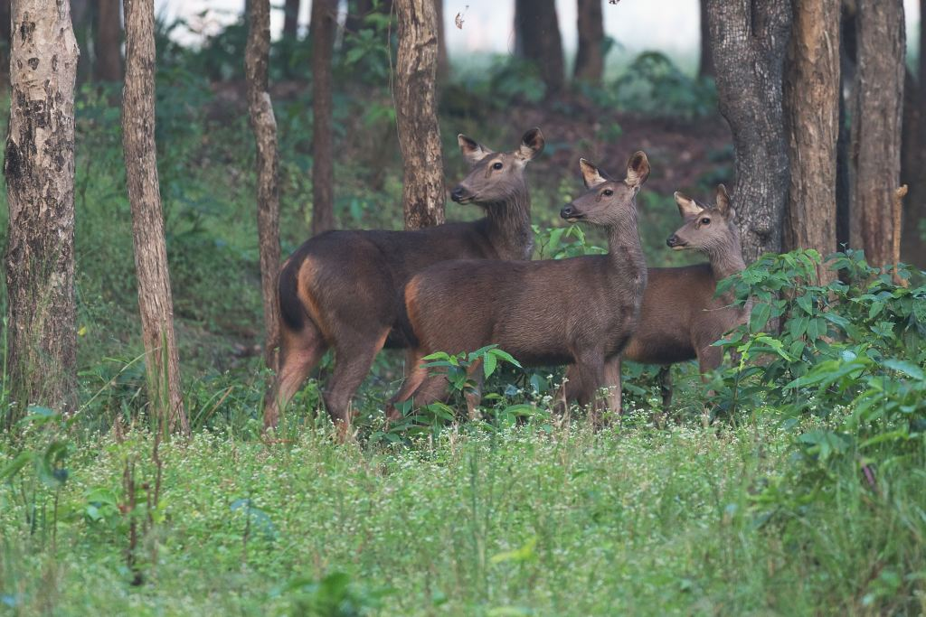 Three deer looking backward in India