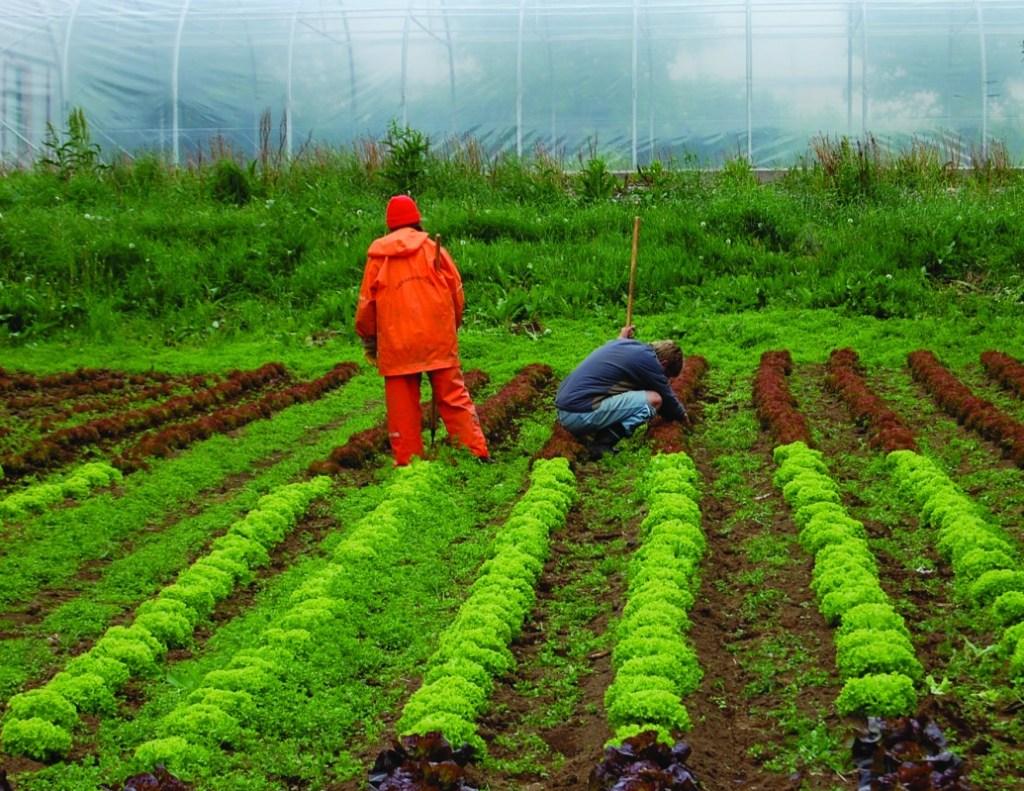 Iceland Farming