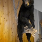 Black Bear 11