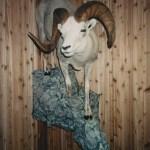 Fannin Sheep 4