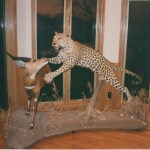 Leopard with Bushbuck