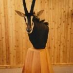 Sable Antelope—Pedestal Mount