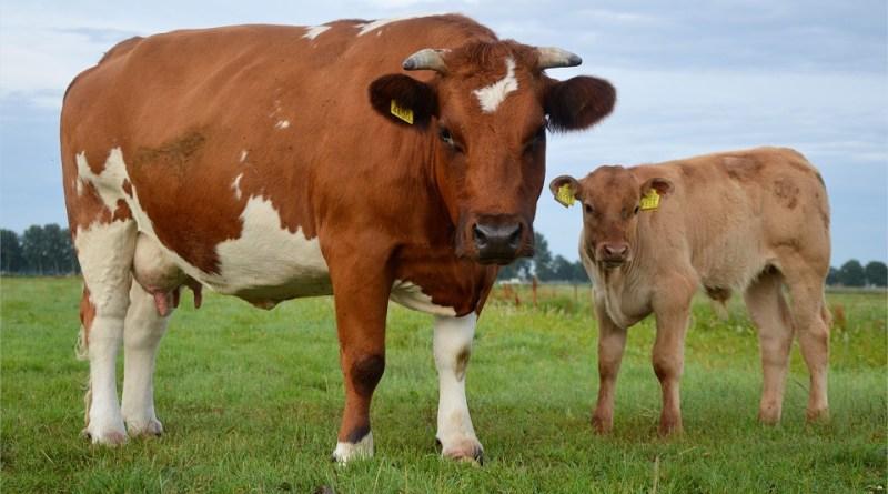 carne vitello vacca