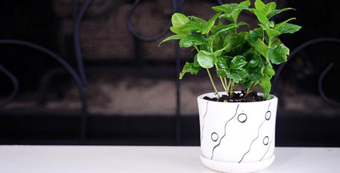 Coffee-house-plant