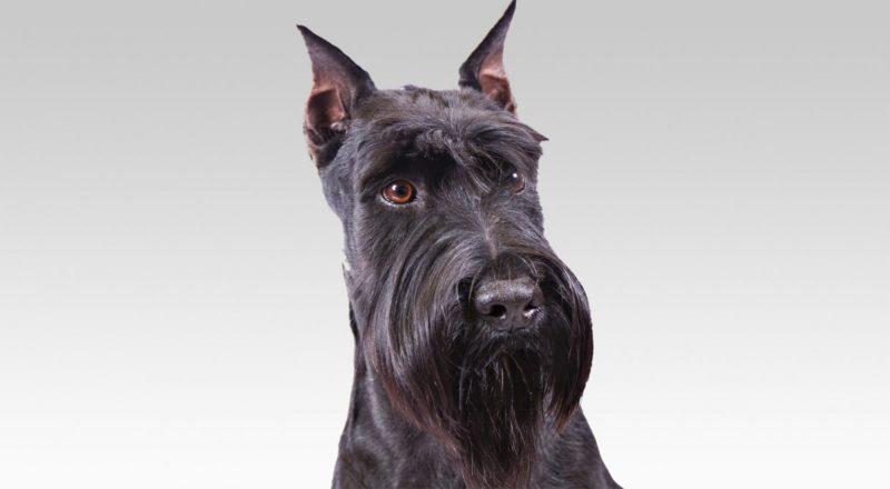 Pet Barbudo 9 Raas De Cachorros Com Barba E Como Cuidar