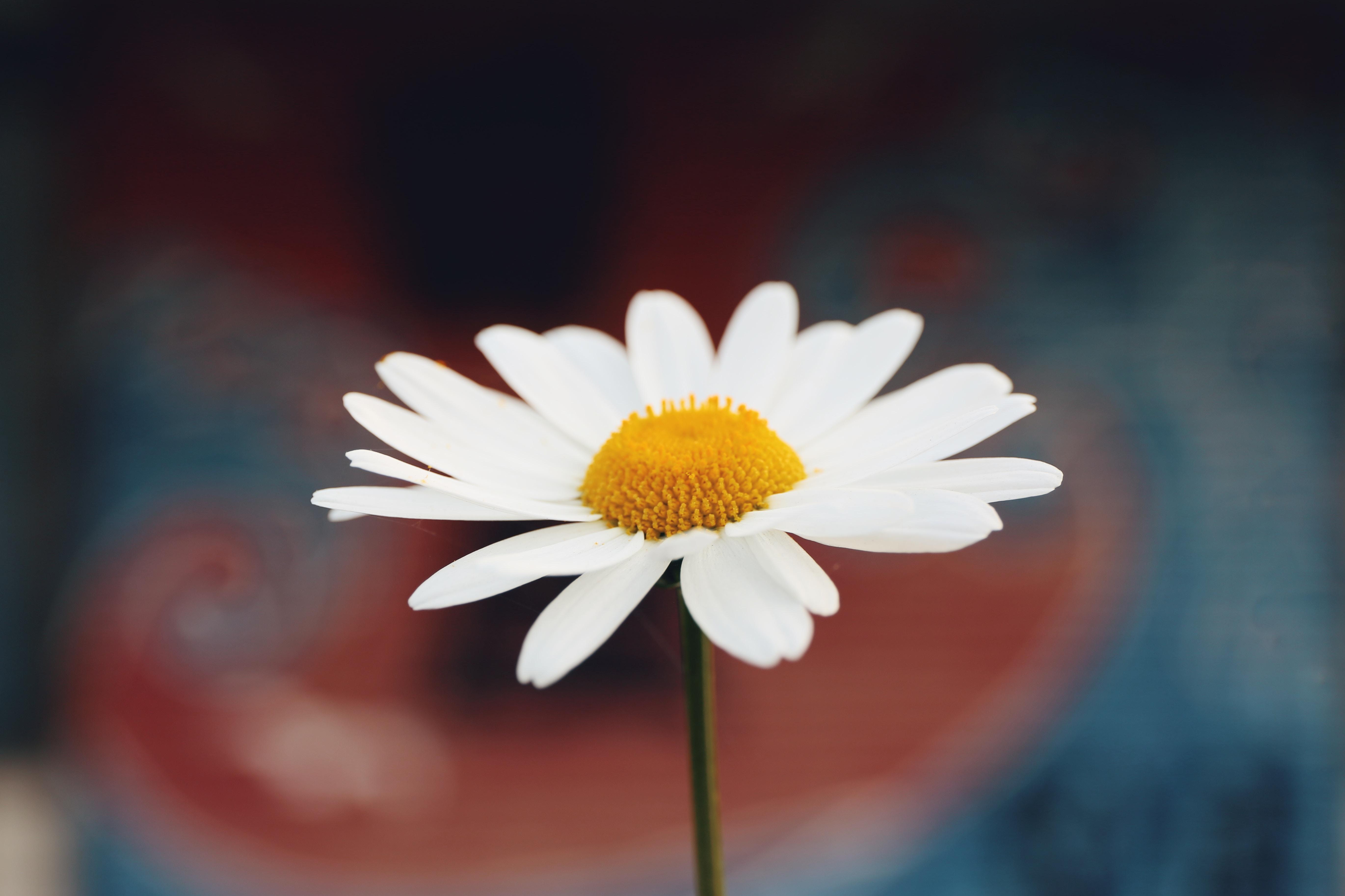 DIY : Macérat de fleurs de pâquerettes (ou Bellis)