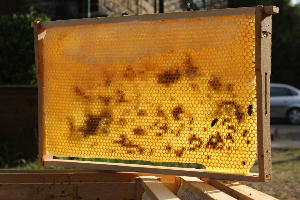 Wabe mit Pollen und Honig