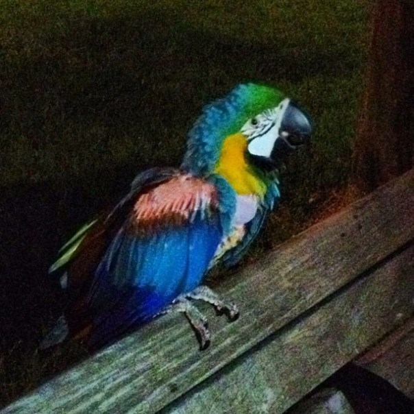 There is a parrot in the park!! - from Instagram