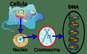 dna cromosoma
