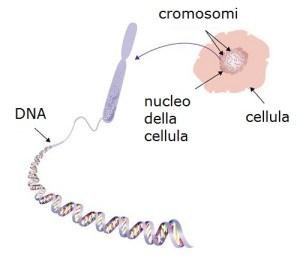 dna cromosomi cellula