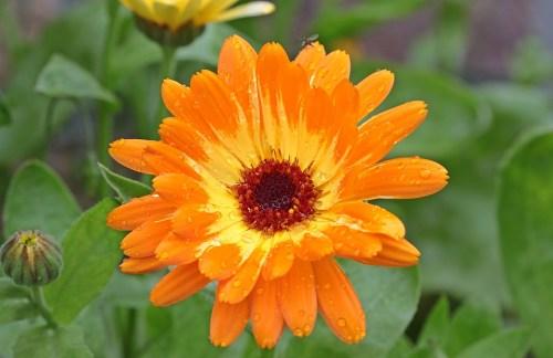 calendula-fiore