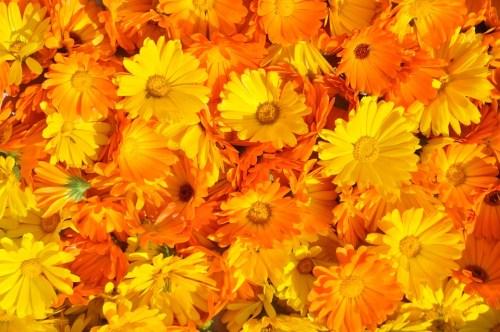 calendula-fiori