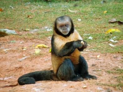 Curiosidades_Primatas_Macaco_Prego