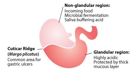 equine stomach glandular and non-glandular regions