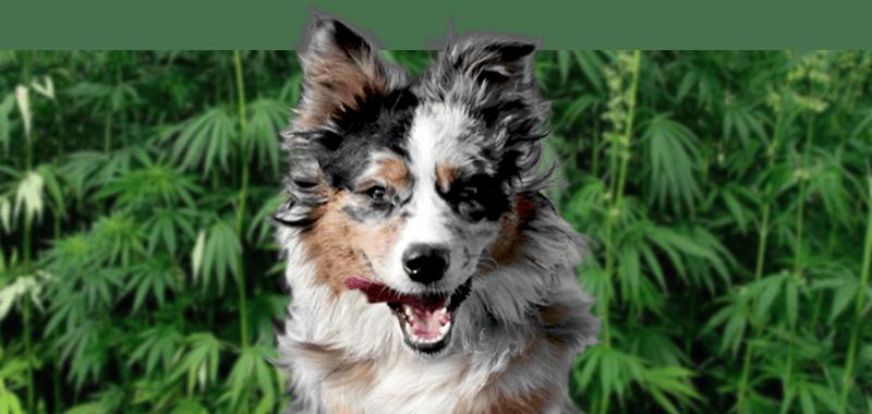 Trinity K9 CBD formula for Dogs | BioStar US