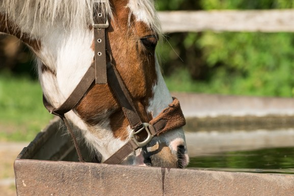 Horse drinking water | BioStar US