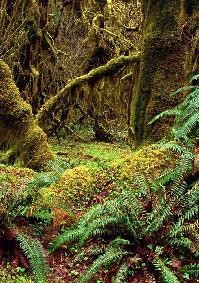 SUA, Hall of Mosses Trail, Olympic National Park, Washington; sursa foto - autor necunoscut