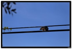 Vjeverica (squirrel)