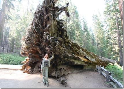 Omgevallen Sequoia - Yosemite en Vicky