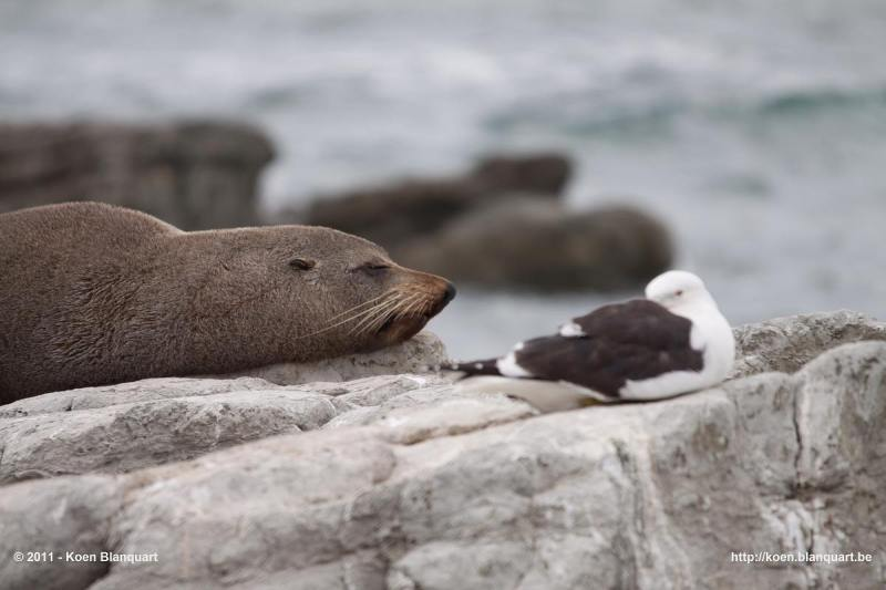 Fur Seal & Seagull