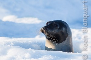 A harp seal emerging out of the ice cold water, looking after its pups in the Gulf of Saint Lawrence (Photo: Koen Blanquart, 2015)