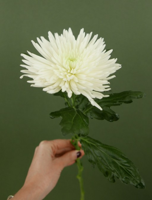 chrysanthemeanastasia