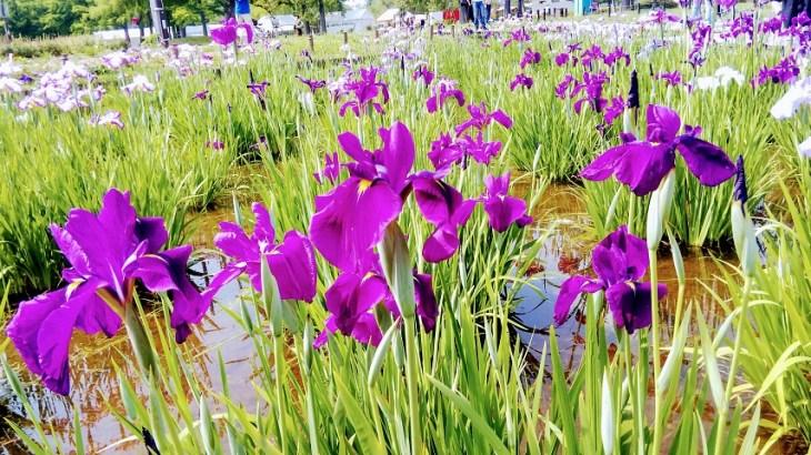 水元公園葛飾菖蒲祭り2019