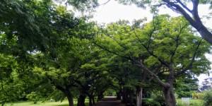 小石川植物園 青もみじ