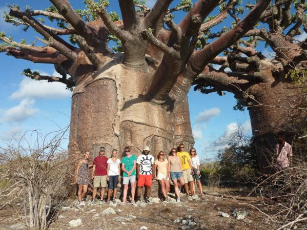 The trunks of some baobabs are just huge!