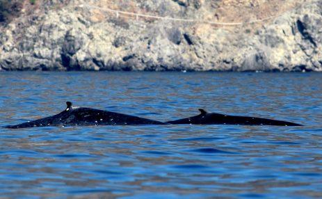 Blue Whales in Timor-Leste   Photo: Andrew Cadogen