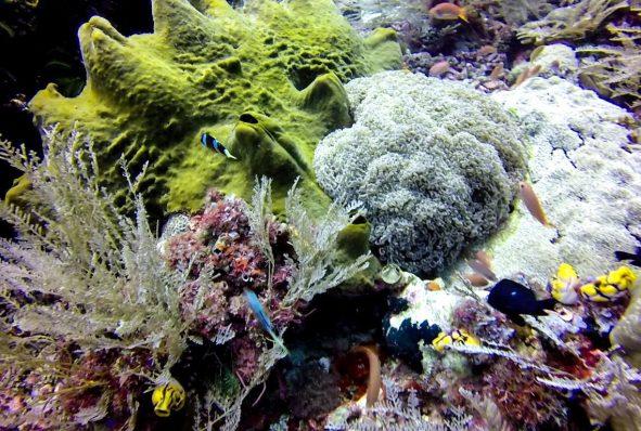 Bubble coral (top right)