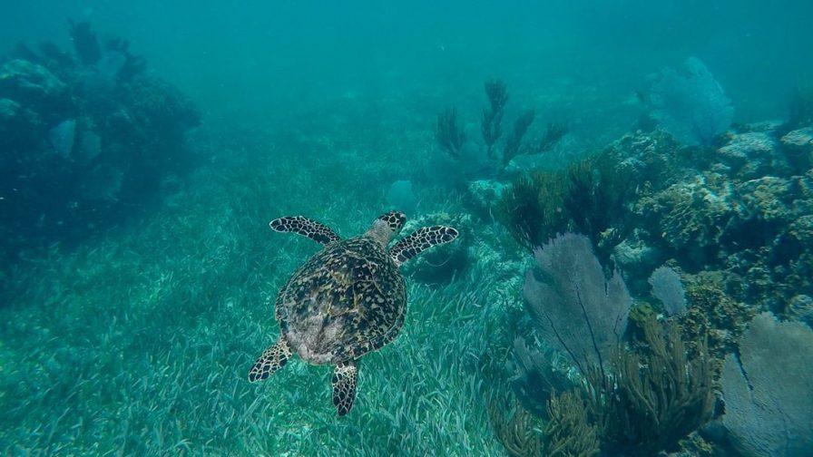 Hawksbill Turtle Bacalar Chico
