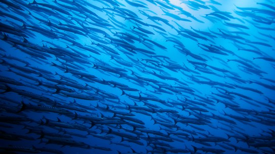 A school of barracuda | Photo: Greg Duncan