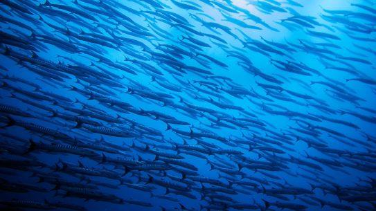 A school of barracuda | Photo: Greg Duncan