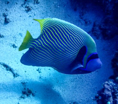 The large emperor angelfish | Photo: Sassa Jordan