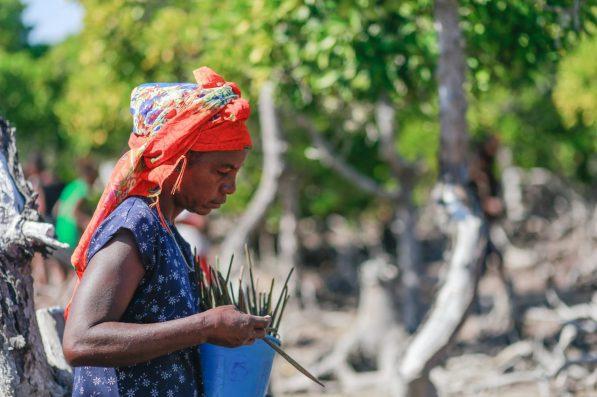 Planting mangrove propagules
