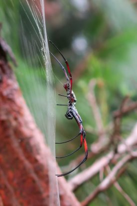 Nephila inaurata (red-legged golden orb-web spider) | Photo: Ben Honey
