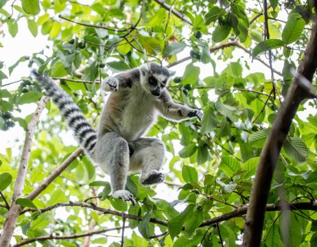 Ring-tailed lemur | Photo Ben Honey