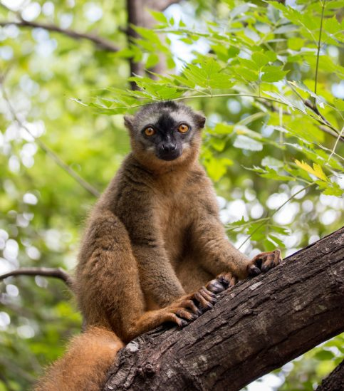 Red-fronted brown lemur | Photo: Ben Honey