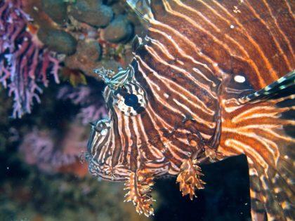 The Indo-pacific lionfish (Pterois volitans)